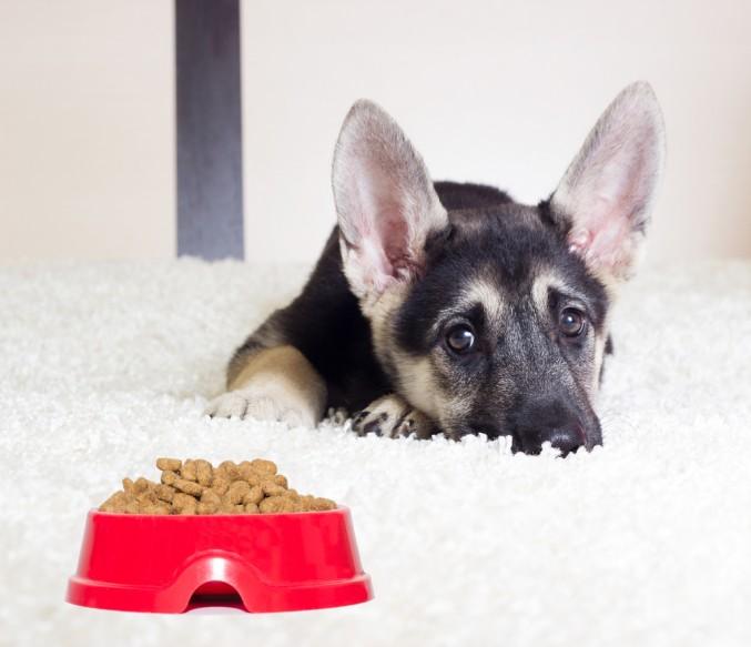 Por qué no come mi cachorro