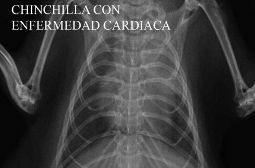 Chinchilla con enfermedad cardíaca - Foto propiedad: Centro Veterinario Madrid Exóticos