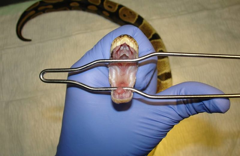 Como llevar tu serpiente al veterinario
