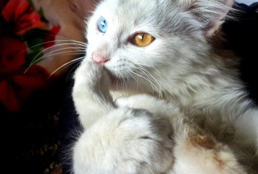 Gatos con leucemia