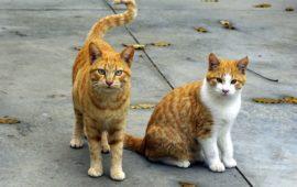 Como cuidar a los gatos con leucemia felina