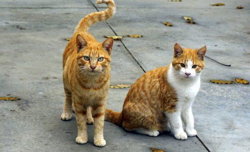 Gatos leucemia felina