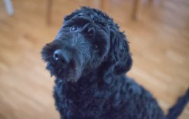 Colonias para perros: ¿a favor o en contra?