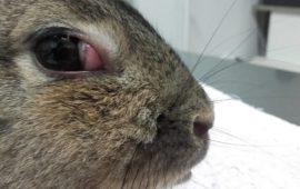 Timomas en conejos… unos tumores muy silenciosos
