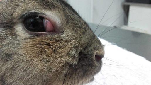 Tinomas en conejos