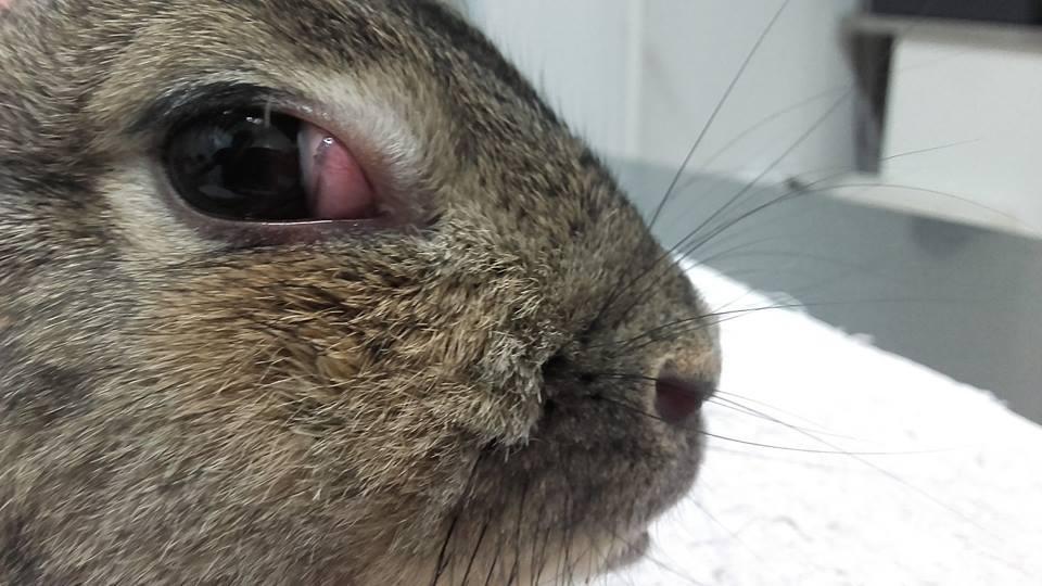 Tinoma en conejos