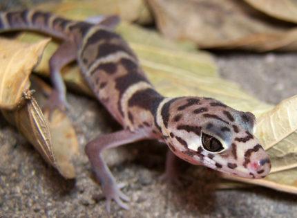 El Gecko Bandeado Centroamericano