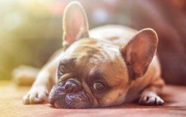 Ceguera en perros, hallan la causa genética que la provoca