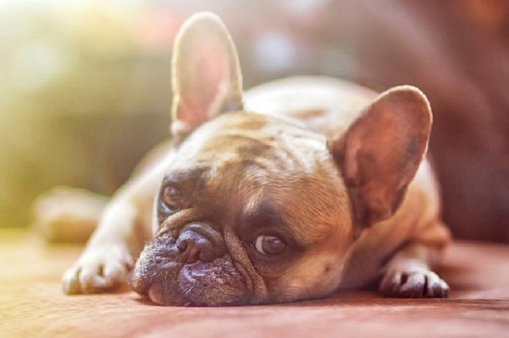 Ceguera en perros
