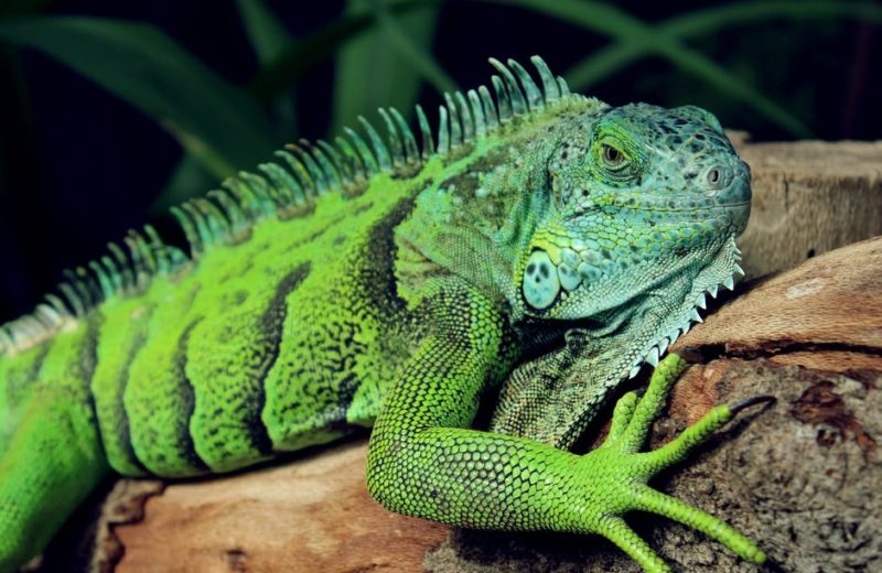 Agresividad en iguanas: ¿es la castración la mejor opción?