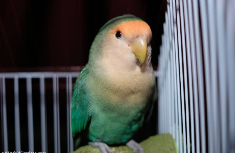 Pájaros, ten cuidado si le tienes suelto en casa…