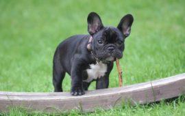 Las enfermedades de las garrapatas que pueden matar a tu perro, y que puedes evitar