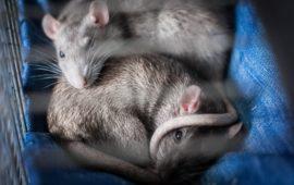 Ratas domésticas: ¿alguien ha visto una linda ratita?