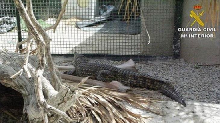 Cocodrilo rescatado Seprona