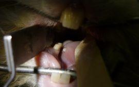 La exploración dental de los conejos