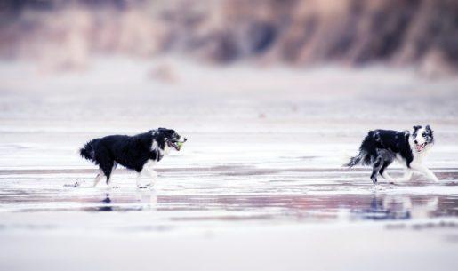 Perros en la playa jugando