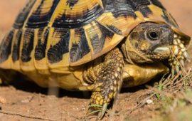 Incautan más de 100 tortugas de diversas especies protegidas en Valencia y Alicante