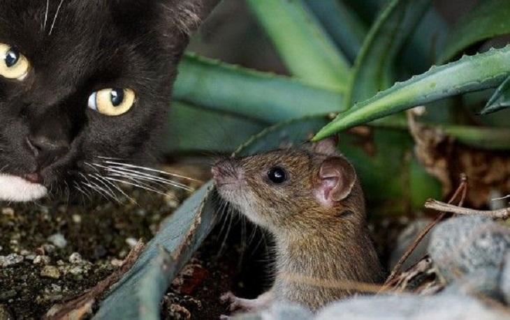 Gatos y ratón