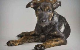 Podemos lleva al Congreso el caso de 'Cooper', el perro maltratado hasta la muerte en Santovenia (Valladolid)