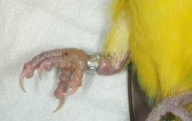 Las anillas de los pájaros