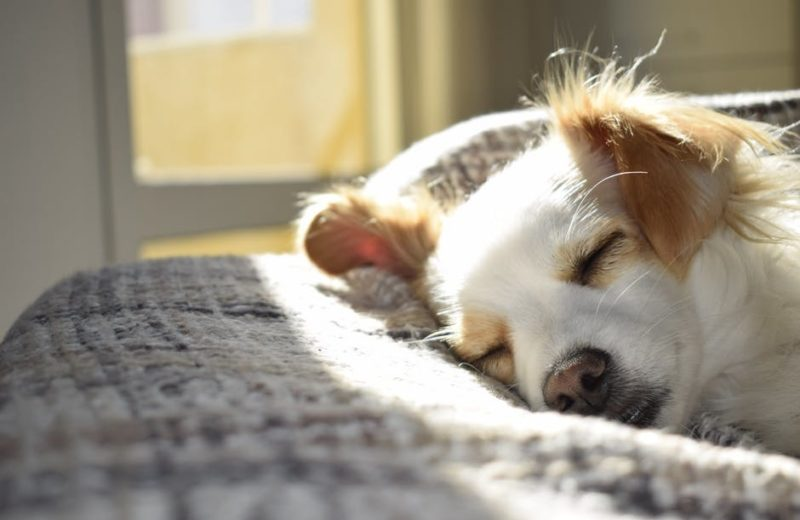 Sonambulismo en perros, ¿existe?
