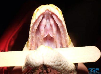 Exploración de una serpiente, qué observa el veterinario en la consulta