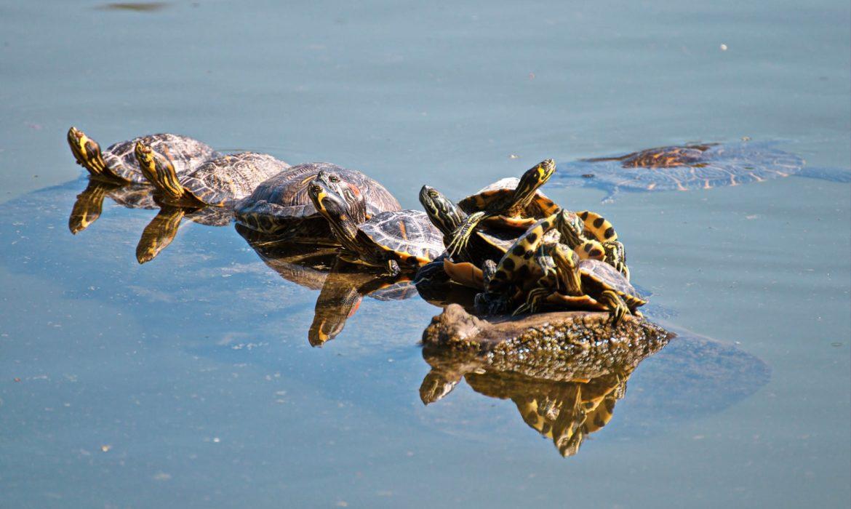 ¿Qué cuidados necesita mi tortuga acuática?