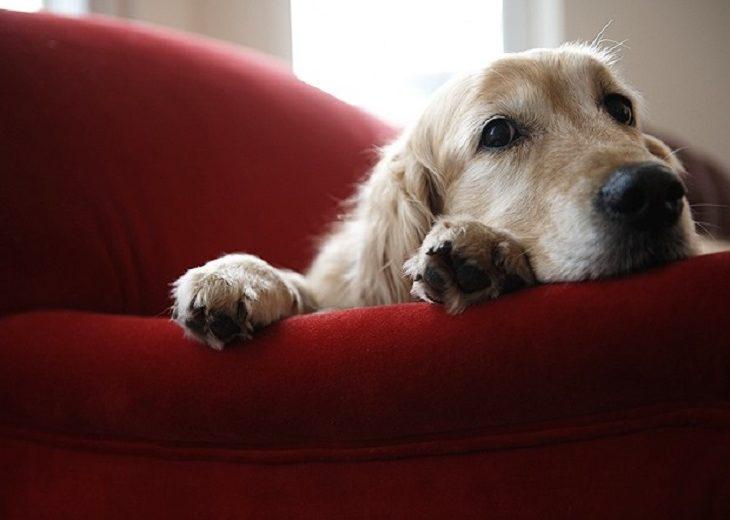 Perro sillóm
