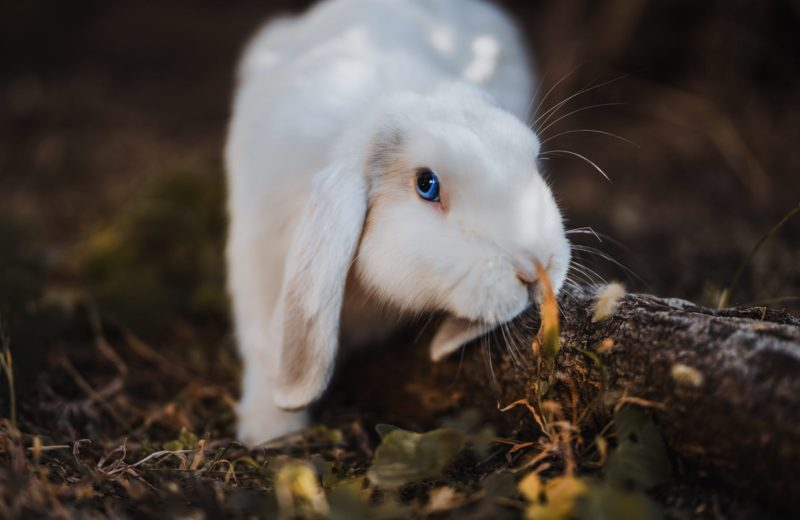 ¿Puedo enseñar a mi conejo a usar la bandeja para hacer sus necesidades?