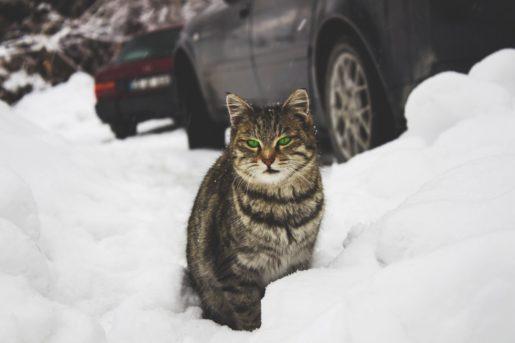 Cuidados invernales gatos - Gato en la nieve