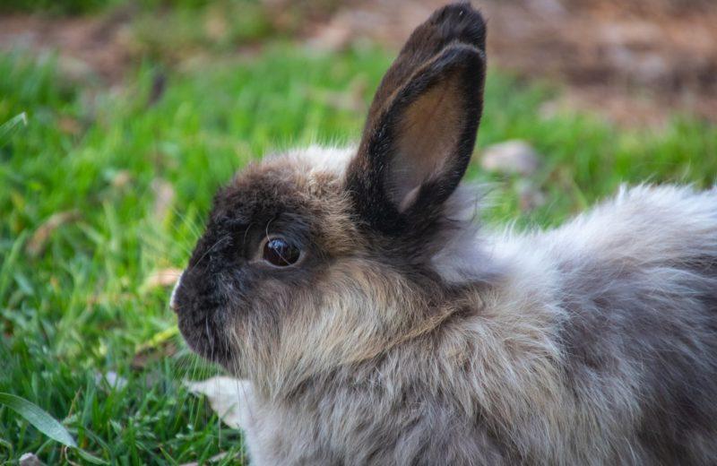 Conejo pelo largo