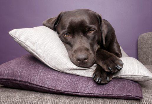 Opioiedes mascotas - Perro durmiendo