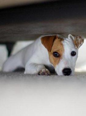 Opioiedes mascotas - perro escondido