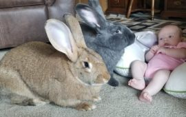 Una pareja de conejos gigantes trata al nuevo bebé de la familia como si fuera suyo