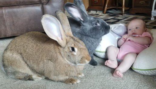 Mascotas conejos con bebé