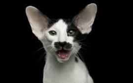 Los 10 sonidos principales del gato