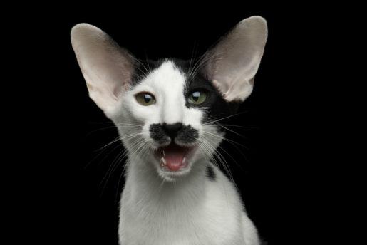 Gato con la boca abierta