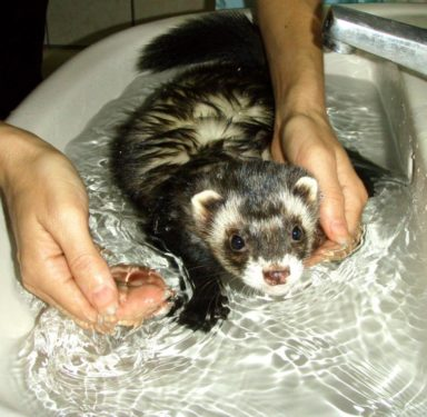 Hurón baño