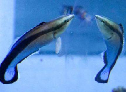 Un pez da intrigantes muestras de reconocerse ante un espejo