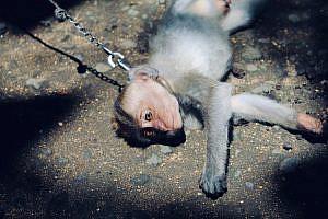 Mono atado