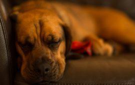 Cómo reconocer la enfermedad de Cushing en mi mascota (y qué hacer)