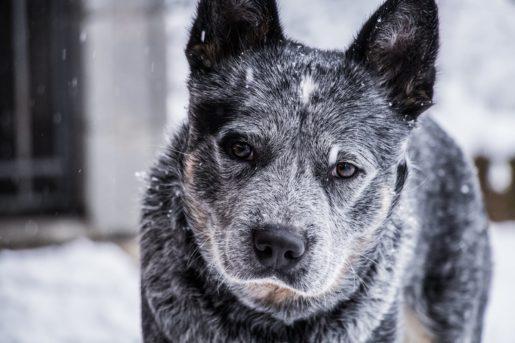 DISFUNCIÓN COGNITIVA - Perro mayor