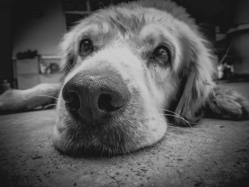 DISFUNCIÓN COGNITIVA -Perro mayor