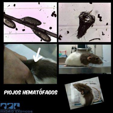 Piojos hematofagos en ratas