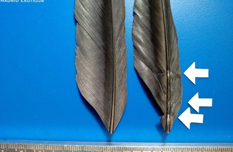 CSI: Las plumas nos hablan, barras (o líneas de estrés)