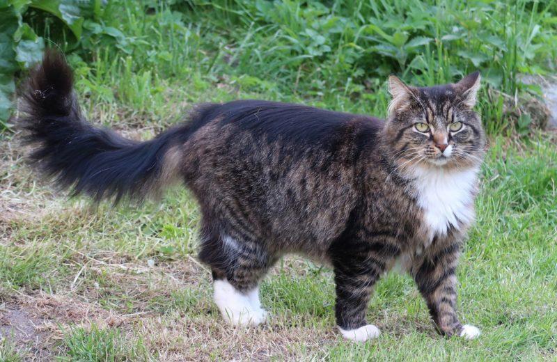 Gato de Bosque de Noruega, la belleza silvestre de los vikingos