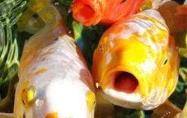 Boquean tus peces ¿sabes por qué lo hacen?