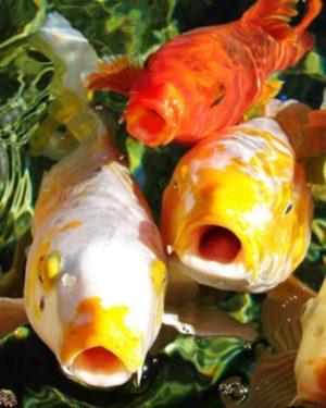 Kois peces que boquean