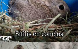 Sífilis en conejos. !Tranquilos no se transmite a humanos!