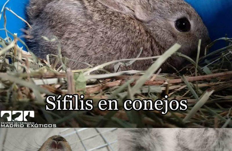 Sífilis en conejos